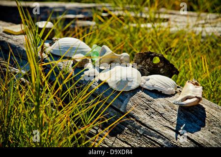 Las conchas y erizos de mar en driftwood Imagen De Stock