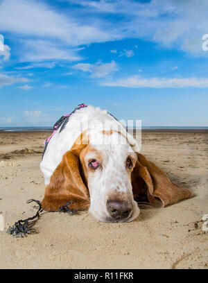 Basset Hound en una playa Imagen De Stock