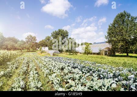 Verduras listos para cosechar en la granja orgánica Imagen De Stock