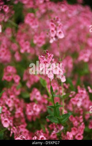 Diascia personata - salmón rosado perenne Imagen De Stock