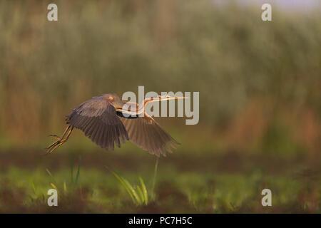 La garza imperial (Ardea purpurea) adulto, volando sobre tierras pantanosas, Delta del Danubio, Rumania, Junio Imagen De Stock