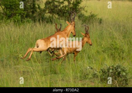 Jackson's Hartebeest (Alcelaphus buselaphus), antílopes, Parque Nacional de Murchison Falls, Uganda Imagen De Stock