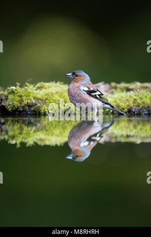 Pinzón (Fringilla coelebs macho) reflejó mientras se baña en un bosque piscina Imagen De Stock
