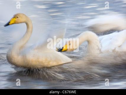 Cisnes cantores Cygnus cygnus un adulto persiguiendo agresivamente otra (borrosa para ilustrar el movimiento) Lancashire, Imagen De Stock
