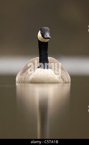 Canadá ganso Branta canadensis retrato de un adulto en un tranquilo lago al amanecer. Derbyshire, Reino Unido Imagen De Stock