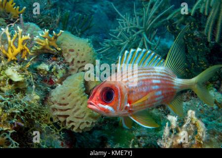 Cautelosos squirrelfish. Imagen De Stock