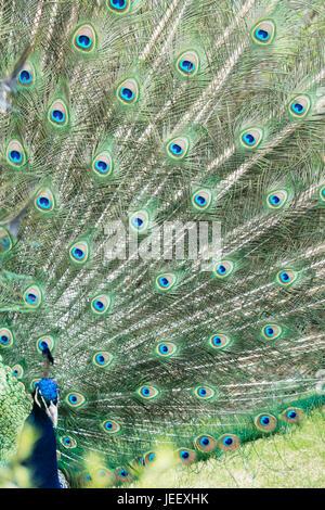 Peacock mostrando las plumas de aves exóticas de plumaje. patrón de vida silvestre con los ojos. Imagen De Stock