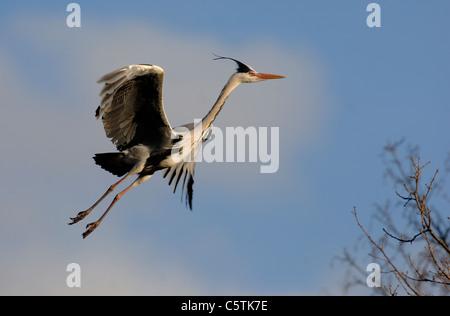 Garza Real Ardea cinerea un adulto viene a la tierra en su nido. De marzo. Nottinghamshire, REINO UNIDO Imagen De Stock