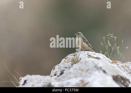 Ortolan Bunting (Emberiza hortulana) macho adulto, encaramado sobre una roca, Constanta, Rumania, Junio Imagen De Stock