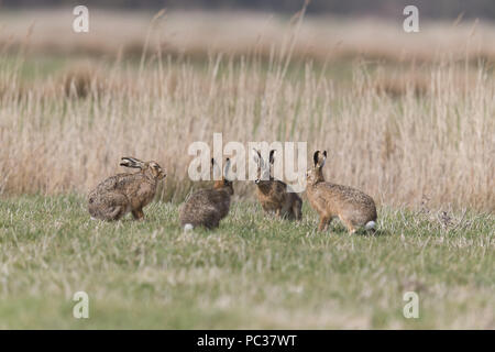 Liebre europea (Lepus europeaus) 4 adultos, 3 machos y hembras en pastoreo marsh, en Suffolk, Inglaterra, de marzo Imagen De Stock