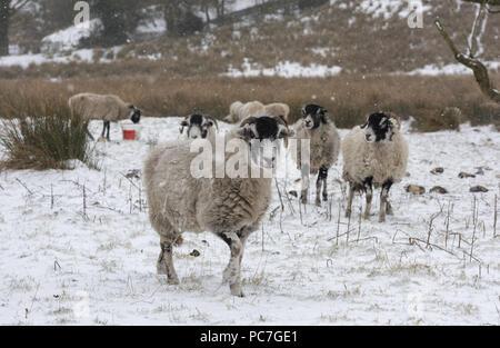 Swaledale ovejas en la nieve, astillas, Lancashire. Imagen De Stock