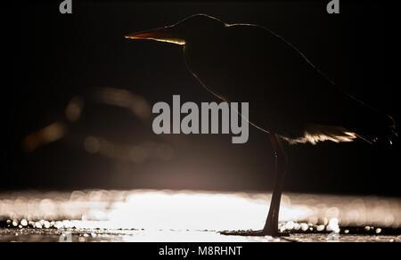 Las garzas grises (Ardea cinerea) silhouted caza por la noche en un lago poco profundo Imagen De Stock