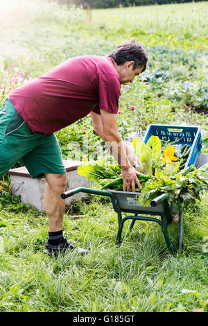 Agricultor colocando variedad de cosecha en la carretilla de mano Imagen De Stock