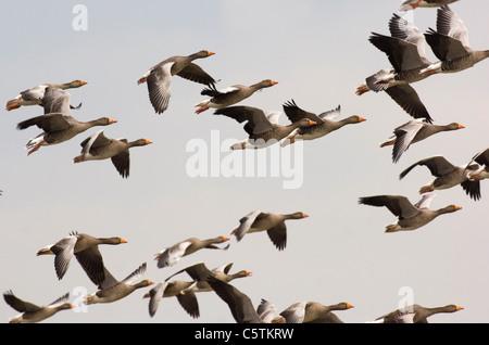 Graylag Goose Anser anser una bandada de gansos en vuelo sobre Titchwell RSPB Reserva. Norfolk, el fotógrafo Imagen De Stock