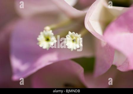 El Bougainvillea soft focus flores rosadas que muestra la sección central de la flor. Imagen De Stock
