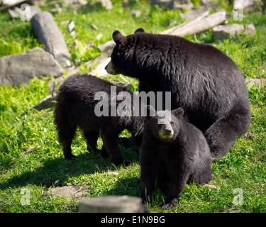 Una de detectives, o grupo, de tres osos negros americanos (Ursus americanus), una madre oso y dos de sus cachorros, sentarse en un terreno rocoso. Imagen De Stock