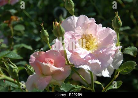 Luz Rosa arbusto aumentó en la brillante luz del sol con gotas de lluvia UK jardín Agosto 2008 Imagen De Stock