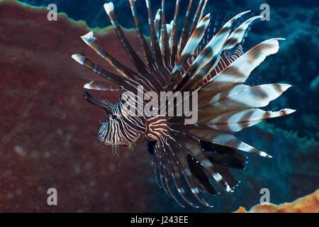 Pez león invasiva en arrecifes en el Caribe. Imagen De Stock