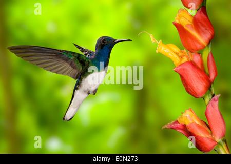 De cuello blanco sugarfeeding Jacobina y néctar materna, volando, Costa Rica, Centroamérica (Florisuga mellivora) Imagen De Stock