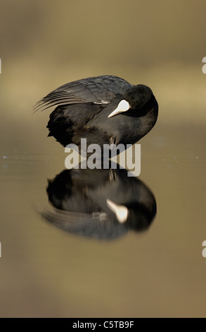 Focha Común Fulica atra un adulto acicalarse sobre un lago al amanecer. De marzo. Derbyshire, Reino Unido Imagen De Stock