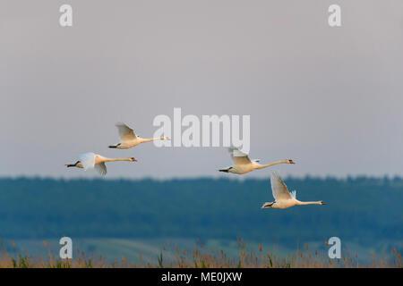Grupo de silenciamiento cuatro cisnes (Cygnus olor) en vuelo sobre el Lago Neusiedl, en el Burgenland, Austria Imagen De Stock