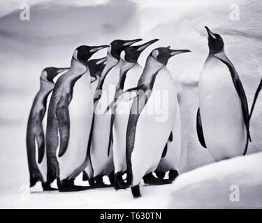 1960 Un convento de pingüino emperador Aptenodytes forsteri en un zoológico - z1525 HAR001 HARS ANTICUADO Imagen De Stock