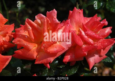 Arbusto antiguo aumentó con cobre naranja rosa flores Imagen De Stock