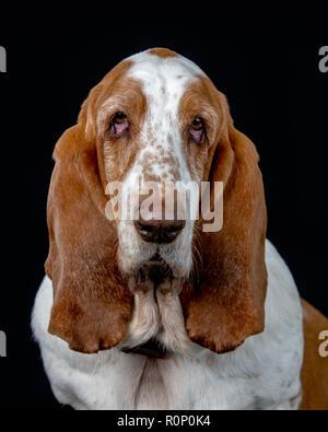 Close-up de un Basset Hound mirando a la cámara Imagen De Stock
