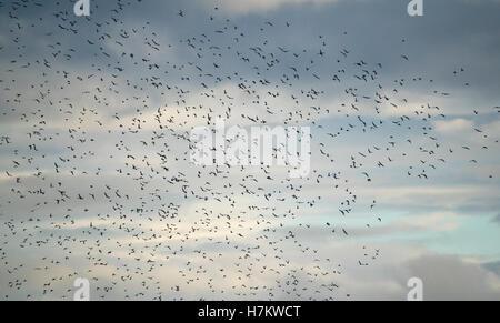 Gran bandada de pájaros volando en el cielo. La hermosa naturaleza de fondo. Concepto de libertad y de movimiento. Imagen De Stock