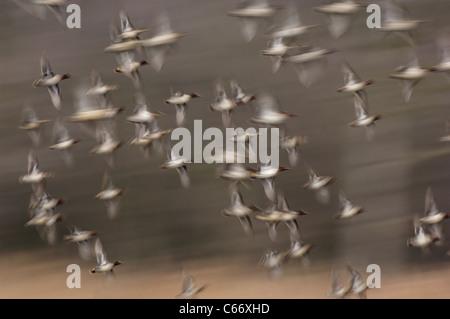 Anas crecca una bandada de teal en vuelo (borrosa para ilustrar el movimiento) de Yorkshire, Reino Unido Imagen De Stock