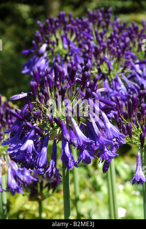 Agapanthus Quink cae una nueva variedad de lirio africano con flores de color azul profundo Imagen De Stock