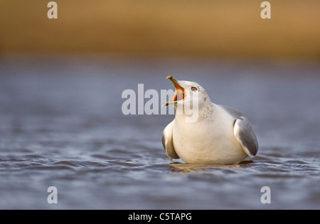 Gaviota común Larus canus adulto en su plumaje de invierno llamada 'largo'. Norfolk, UK Imagen De Stock