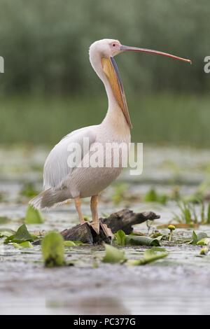 Gran pelícano blanco (Pelecanus onocrotalus) adulto, plumaje nupcial, parado en el registro, el bostezo, el delta del Danubio, Rumania, Junio Imagen De Stock