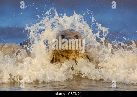 Junta gris Halichoerus grypus una hembra adulta en bajíos costeros está enmarcada por las olas que rompen Imagen De Stock