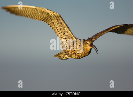 Numenius arquata zarapito llamadas de un adulto mientras volaba en golden luz del atardecer. Julio. Islas Shetland Imagen De Stock