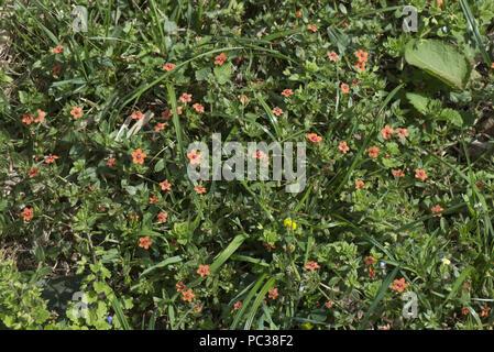 Scarlet Pimpernel, Anagallis arvensis, rojo floración herbáceos anuales maleza en vertedero, Berkshire, Julio Imagen De Stock