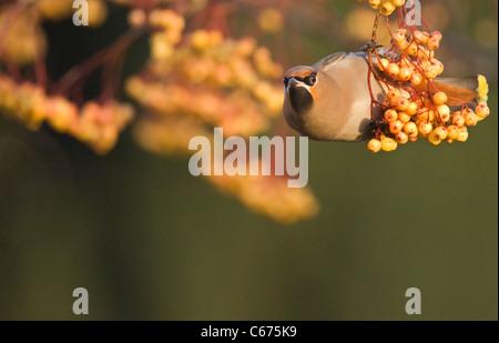 Waxwing Bombycilla garrulus adulto encaramado en un distintivo amarillo, variedad de rowan Nottinghamshire, REINO Imagen De Stock