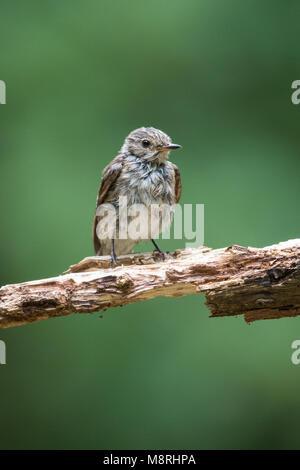Manchada de Fly Catcher (Muscicapa striata) encaramado en la rama Imagen De Stock
