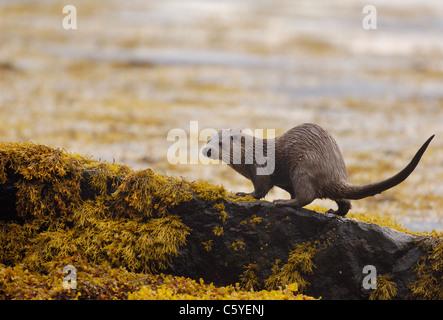 Unión nutria Lutra lutra un adulto húmedo en algunas zonas costeras de rocas en una remota costa Escocesa. Imagen De Stock