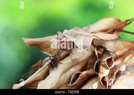 Mantis hoja muerta camuflaje en hojas secas listo para saltar sobre un insecto, Indonesia Imagen De Stock