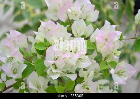 El Bougainvillea con flores rosas Imagen De Stock