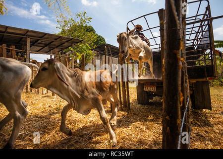 Saltar al ganado en Penonomé, provincia de Coclé, República de Panamá. © Øyvind Martinsen Imagen De Stock