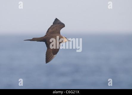 Arctic skúas Stercorarius parasiticus adulto en vuelo. Julio. Las Islas Shetland, Escocia, el fotógrafo Imagen De Stock