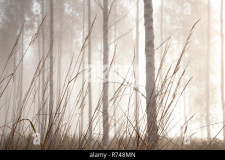 Woodland pastos y troncos de árbol en la niebla, Lohja, Finlandia Meridional, Finlandia Imagen De Stock