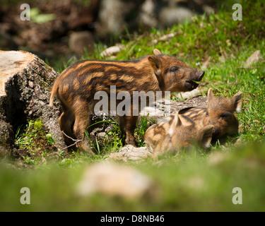 Un grupo de bebé o cerdos salvajes de jabalí (Sus scrofa) en la hierba verde del sol de verano. Imagen De Stock