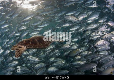 Una tortuga de mar verde cubierto por Big-eye Trevally, Malasia (Chelonia mydas), (Caranx sexfasciatus) Imagen De Stock