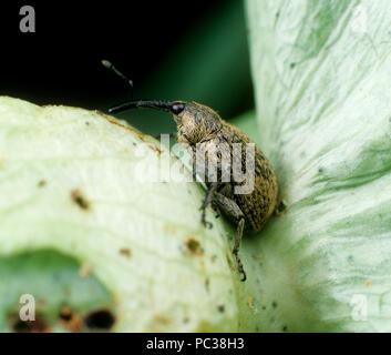 Picudo (Anthonomus grandis) picudo adulto en un dañado sin abrir las cápsulas de algodón Imagen De Stock