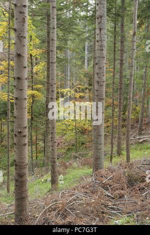 Corte de pino (Pinus sp.) las ramas y agujas, hábitat de bosque mixto, el Parque Nacional de Tara, Serbia, Octubre Imagen De Stock