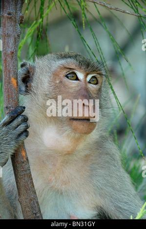 Mono en Koh Larn en Tailandia, que alimentaba de Rambutan frutas, que pueden verse en las goletas de bolsas. Imagen De Stock