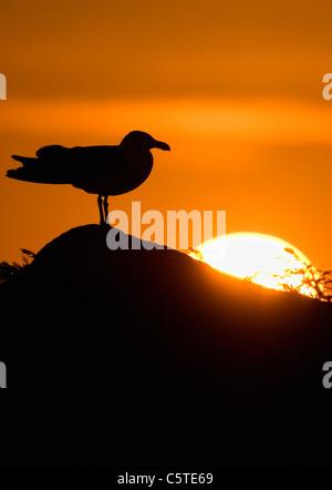 Gran negro-respaldado GULL Larus marinus un adulto es silueteado de la puesta de sol. Las Islas saltee, República Imagen De Stock